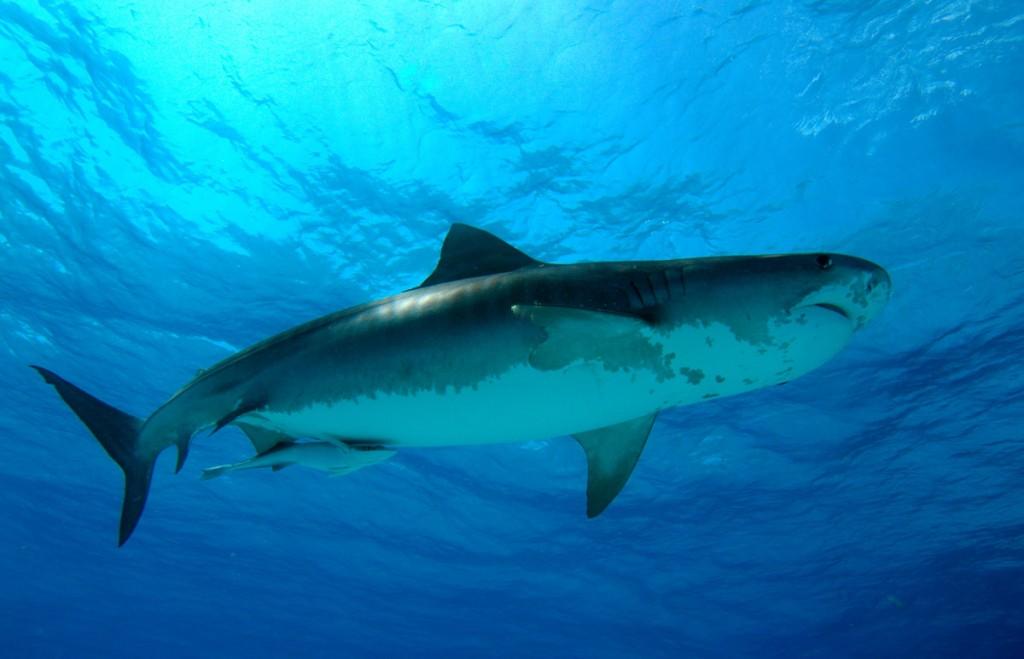 Tiger Shark Logo Tiger Sharks Have Become an