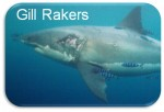 Gill Rakers