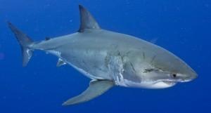 Great White Shark-0729adjust